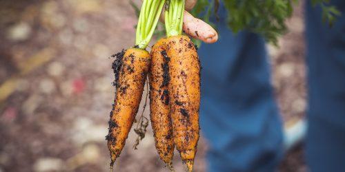 carrots-3655672_1920